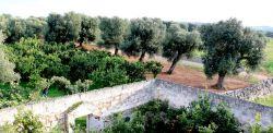 Alberi di olivo della fraternità di Ostuni